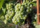 The science of 'green' in wine