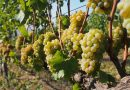 New to wine: grape varieties (1) Sauvignon Blanc