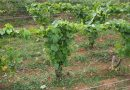 'Tressage': an alternative to hedging vines, that claims to have some benefits