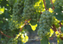 Introducing TDN, a compound responsible for petrol aromas in Riesling and other white wines