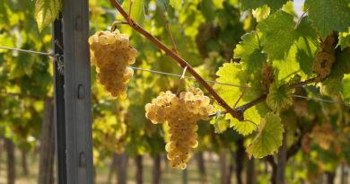 Crushing on Croatia: the wines, regions and grape varieties