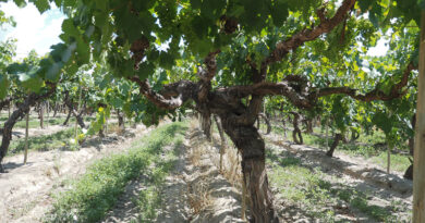País, Mission, Criolla Chica: the Beaujolais of the Americas?