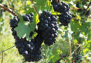 Visiting Champagne Mumm (2): new approaches to viticulture